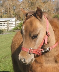 Appaloosa Bred filly (SOLD)