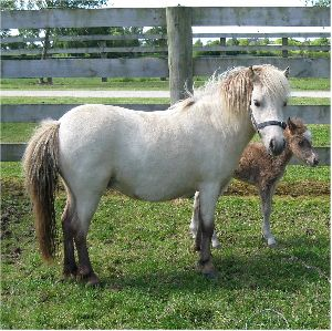 SOLD MARE ONLY DREAMS N MINI MISTY LADY