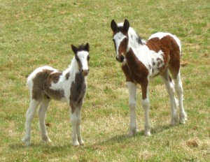 filly on the right