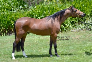 A1 MARES SCANNED IN FOAL TO AMERICAN SHETLAND
