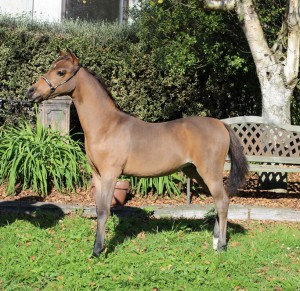 FILLY (ot of welsh mare)